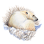 Watercolor painting of a polar bear in Churchill, Manitoba, Canada, by Eugenia Talbott