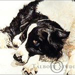 Watercolor pet portrait of Willy, a Border Collie dog, by Eugenia Talbott